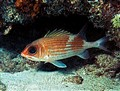 Red Squirrel Fish