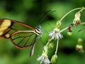 Translucent butterfly resting on a branch