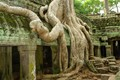 Big tree roots in Angkor temple