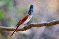 Paradise Fly Catcher Juvenile