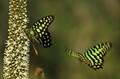 Green spotted triangle butterflies