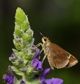 Skipper On Salvia