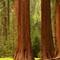 SequoiasGiantForest_1X_51904_900px_reduced