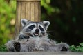 Relaxed raccoon