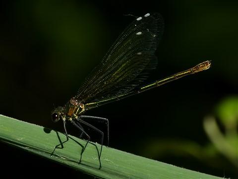 Golden dragonfly 1200