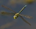 Hairy Hawker (male)