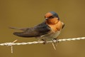 Welcome Swallow: Edithvale Wetlands, Melbourne, Aus.