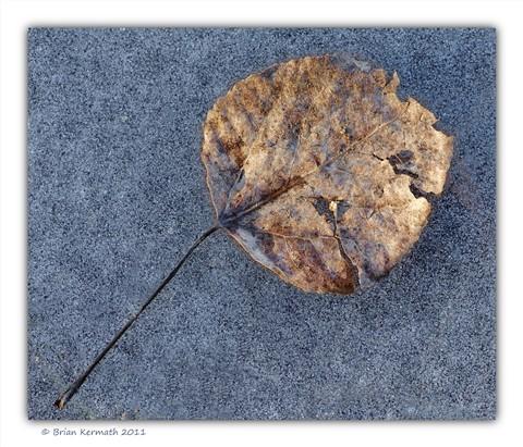 Leaf (of the Populus genus?) on ice