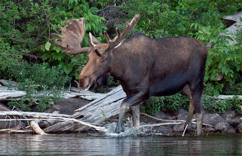 Bull Moose Biggar Lake Algonquin Luxborealis Galleries
