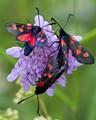 Five-spot Burnet Moths