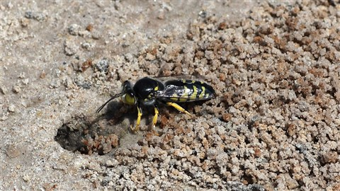 Sand Wasp resized