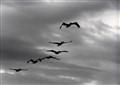 Pelicans B&W