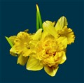 Double Golden Daffodil in Bouquet