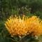 Pincushion Protea (Leucospermum spp)