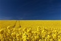 Rapeseed field in Easter Ross, Scotland