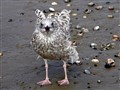 Young gull on a windy beach.