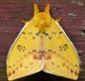 Io Moth