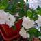 Gardenia # 10
