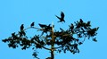 Crows squawking in a tree