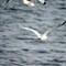 SeagullFlying1280_IMG_2275