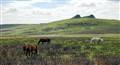 Dartmoor Ponys near Haytor