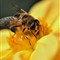 Foraging Bee: Yellow Dahlia