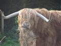 Highland Herd