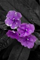 Purple Flower BW