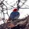 Red-bellied woodpecker a