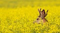 Young Buck in a sea of yellow canola