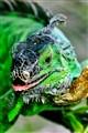 iguana_6906