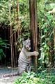 white tiger rubbing tree