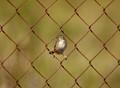 Cisticola juncidis (Streaked fantail warbler)