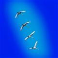Swans album cover