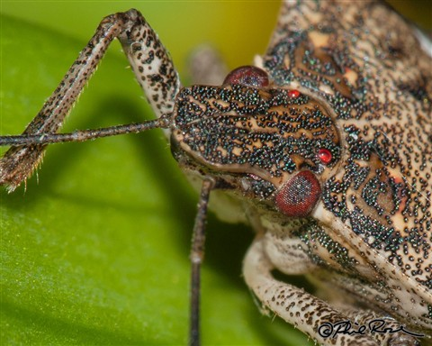 Brown Marmorated Stink Bug-3