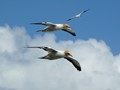 Gannets in flight