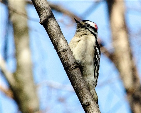 Downy Woodpecker in my Front Yard