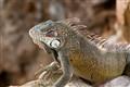 Iguana (Caribean)