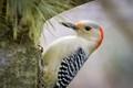 Female Red-bellied Woodpecker Hiding in Pine Tree