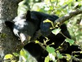 Young Black Bear hanging from branch