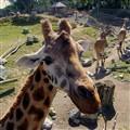 Wellington Zoo Giraffe 4