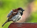 The pictured house sparrow had recently taken a bath in a small pool of rain water that had collected in my neighbors swimming pool cover and had then flown over to his deck railing to dry it's feathers where I caught this photo.