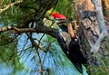 Pileated Woodpecker At Work