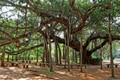 Banyan tree in Auroville