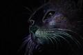 KINTU - The cat