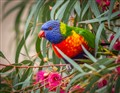 Rainbow Lorikeet in My Tree