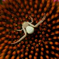 Crab Spider and Flower Center Symmetry