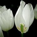 Tulip Exposed -1