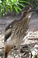 Bush Stone-Curlew, Australia