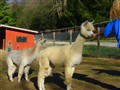 Alpacas, DSC01780